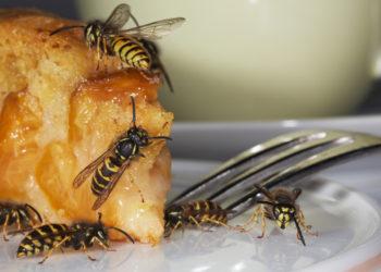 Wespen sind zwar nützliche Tiere, weil sie Blüten bestäuben, sie machen sich aber auch über süße Speisen im Garten her und können ganz schön lästig werden. Ein einfacher Trick kann dabei helfen, die Insekten auf natürliche Art zu vertreiben. (Bild: Ingo Bartussek/fotolia.com)