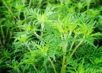 Die ursprünglich in Nordamerika beheimatete Pflanze Beifuß-Ambrosie breitet sich hierzulande immer weiter aus. Die Pollen der Pflanze gehören zu den stärksten Allergieauslösern. Ein Aktionsprogramm soll dabei helfen, die Ausbreitung von Ambrosia zu bremsen. (Bild: Ewald Fröch/fotolia.com)
