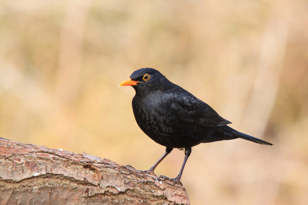 Das Usutu-Virus hat zu einem Massensterben unter heimischen Vogelarten geführt, wobei insbesondere die Amselpopulation mitunter fast vollständig eliminiert wurde. (Bild: Bernd Wolter/fotolia.com)