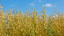 Der Saathafer wurde zur Arzneipflanze des Jahres 2017 gekürt. Das Getreide kann unter anderem zur Behandlung von Magen-Darm-Erkrankungen eingesetzt werden. (Bild: naturenow/fotolia.com)