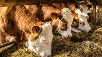 In den letzten Jahren ist das Angebot an Heumilchprodukten im Lebensmittelhandel deutlich gestiegen. Für deren Erzeugung dürfen Kühe keine gentechnisch veränderten Futtermittel erhalten. (Bild: dietwalther/fotolia.com)