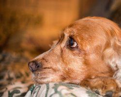 Hunde haben einen deutlich  ausgeprägteren Geruchssinn als Menschen. Sie können auch Krankheiten riechen. Das durfte auch eine Britin erfahren, deren Hündin sie auf ihre Krebserkrankung aufmerksam machte. (Bild: Andrea Izzotti/fotolia.com)
