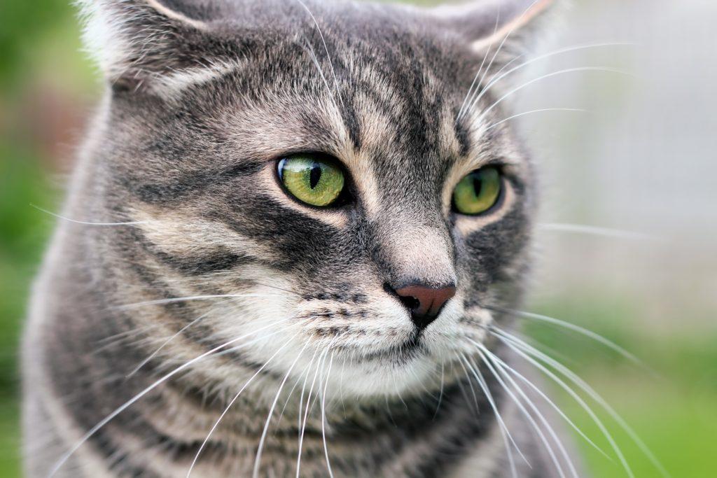 Katzen sind bei vielen Menschen sehr beliebt und werden oft als Haustiere gehalten. Australische Forscher fanden jetzt einen resistenten Bakterienstamm in Katzen, welcher zu einer Gefahr für die öffentliche Gesundheit werden könnte. (Bild: Saklakova/fotolia.com)