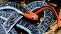 Die blaue Korallenschlange ist ein sehr seltenes aber auch sehr giftiges Tier. Aus dem Gift der in Asien vorkommenden Schlange kann eine effektives Schmerzmittel produziert werden. Dieses scheint wirksamer als Opium zu sein und trotzdem nicht abhängig zu machen. (Bild: david gartland/fotolia.com)