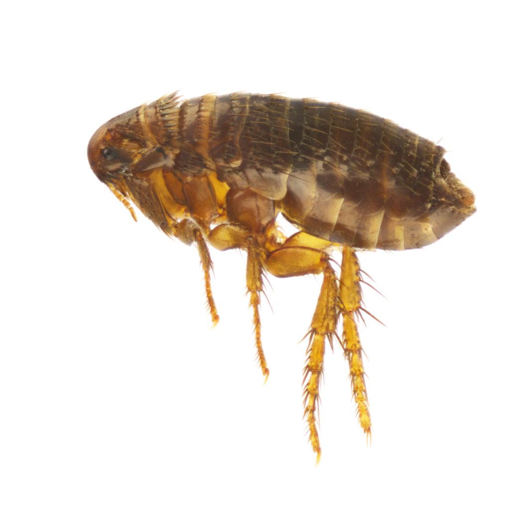 Niemand wünscht sich Flöhe in seinem Schlafzimmer zu haben. Die Bisse der Parasiten jucken stark und sind häufig an Beinen und Füßen zu finden. In Großbritannien droht jetzt angeblich eine weitverbreitete Plage durch eine Art von Flöhen mit einem besonders großen Penis. (Bild: Cosmin Manci/fotolia.com)