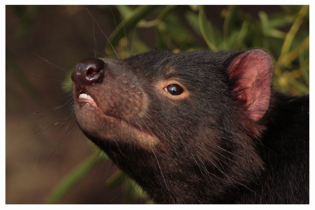 Kann ein aggressives Beuteltier dazu beitragen, dass wir eines Tages multiresistente Erreger besiegen können? Mediziner stellten bei einer Untersuchung fest, dass die Milch von Tasmanischen Teufeln tatsächlich die Behandlung von resistenten Bakterienstämmen ermöglichen könnte. (Bild: Tobias Gueldner/fotolia.com)