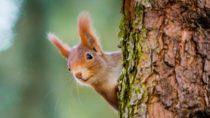 Forscher haben in einer Untersuchung festgestellt, dass fast alle roten Eichhörnchen auf den britischen Inseln mit Lepra-Erregern infiziert sind. Das Ansteckungsrisiko für Menschen ist allerdings gering. (Bild: Vojtech Herout/fotolia.com)