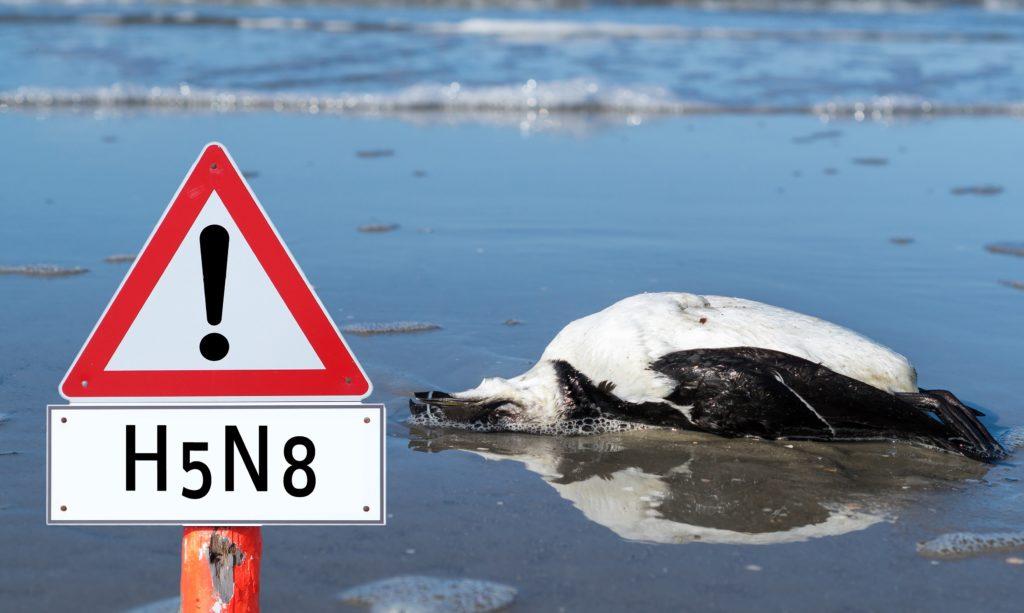 In manchen Regionen Deutschlands breitet sich derzeit die Vogelgrippe immer weiter aus. Viele Bürger sind besorgt und fragen sich, ob das H5N8-Virus auch für Menschen ansteckend ist. (Bild: animaflora/fotolia.com)