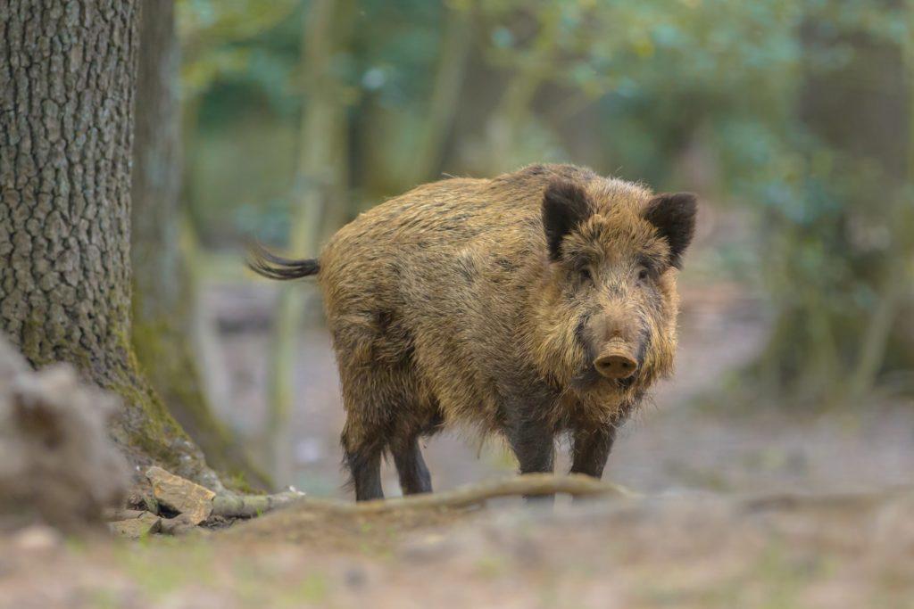 Bei einem Wildschwein in Bayern ist eine Infektion mit der Aujeszkyschen Krankheit festgestellt worden. Die auch Pseudowut genannte Infektionskrankheit kann auch Katzen und Hunde befallen. (Bild: creativenature.nl/fotolia.com)