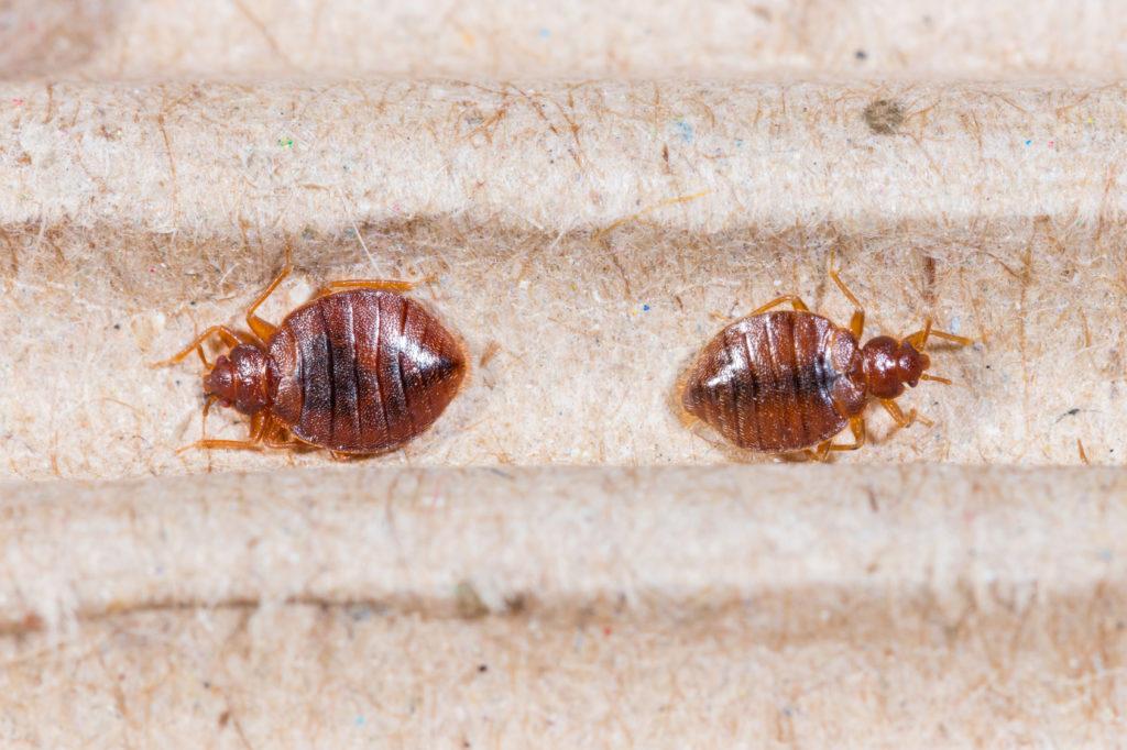 Blutsaugende Parasiten Bettwanzen Sind Zuruck In Hunderttausenden