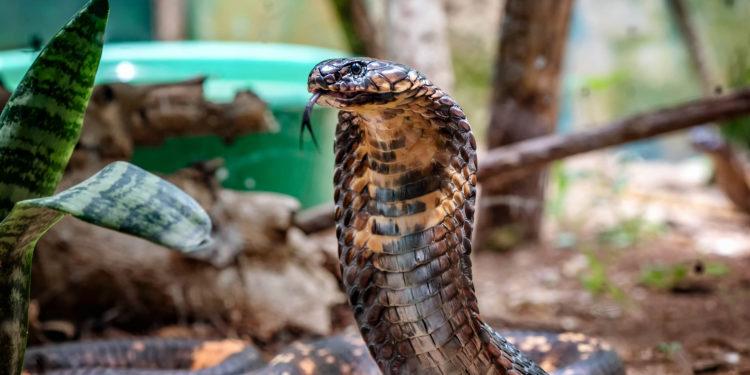 Tier- und Pflanzengifte bestehen meist aus einer Mischung unterschiedlicher Toxine. Schlangengifte enthalten beispielsweise toxische Peptide und Proteine. (Bild: dvrcan/fotolia.com)