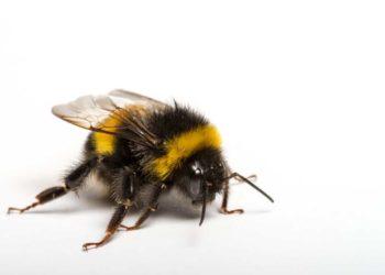Durch den Einfluss von Pestiziden entwickeln sich bei den Hummeln weniger Königinnen. (Bild: D.Pietra/fotolia.com)