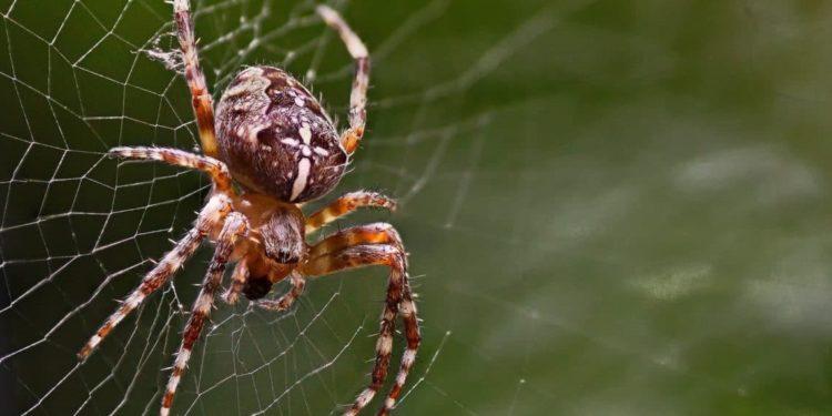 Eine Kreuzspinne auf einem Spinnennetz