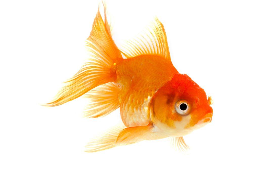 Berlebenskunst goldfische k nnen bei sauerstoffmangel for Goldfische im teich im winter