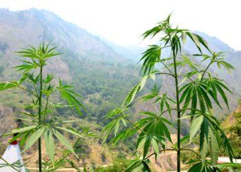 In Indien ist die orale Einnahme von Produkten aus den Blättern der Hanfpflanze legal. (Bild: kikisora/fotolia.com)