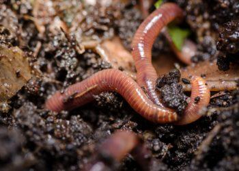 Eine aus der Leibeshöhle von Regenwürmern gewonnene Flüssigkeit könnte möglicherweise bei der Entwicklung eines Arzneimittels gegen Lungenkrebs eingesetzt werden. (Bild: patila/fotolia.com)