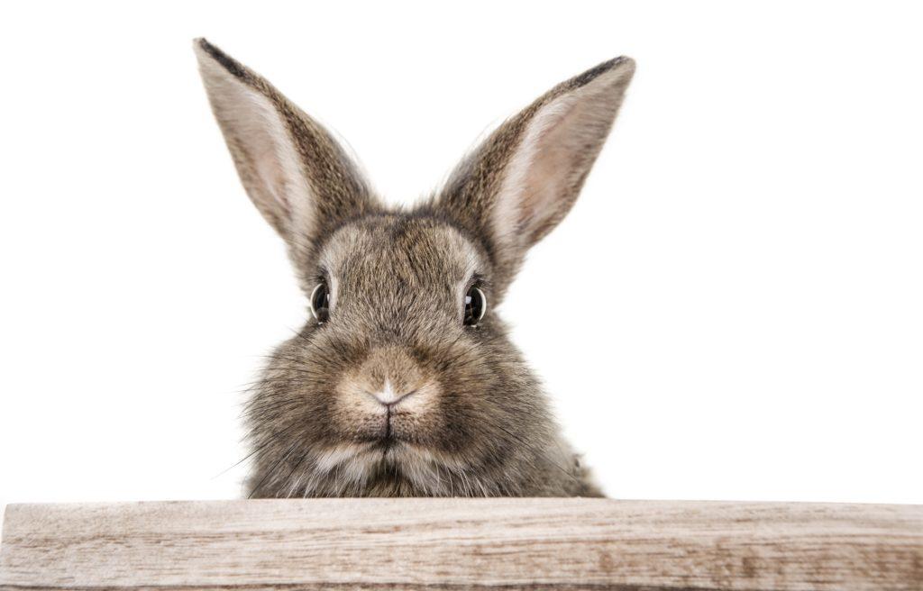 achtung rhd virus t dliche kaninchen seuche breitet sich verst rkt aus. Black Bedroom Furniture Sets. Home Design Ideas