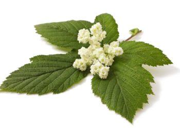 """Die Heilpflanze Mädesüß gehört zur Familie der Rosengewächse und ist auch als """"Wiesenkönigin"""" oder """"Rüsterstaude"""" bekannt.  (Bild: multik79/fotolia.com)"""