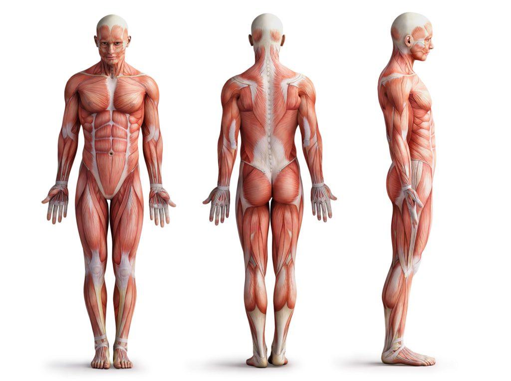 Interstitium: Neu entdecktes Organ zieht sich durch unseren ganzen ...