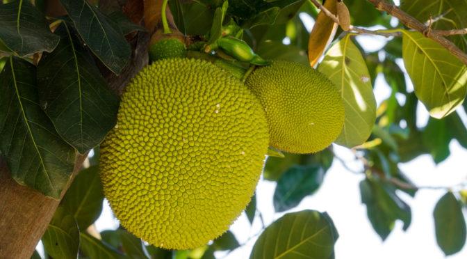 Troische Jackfrucht am Baum