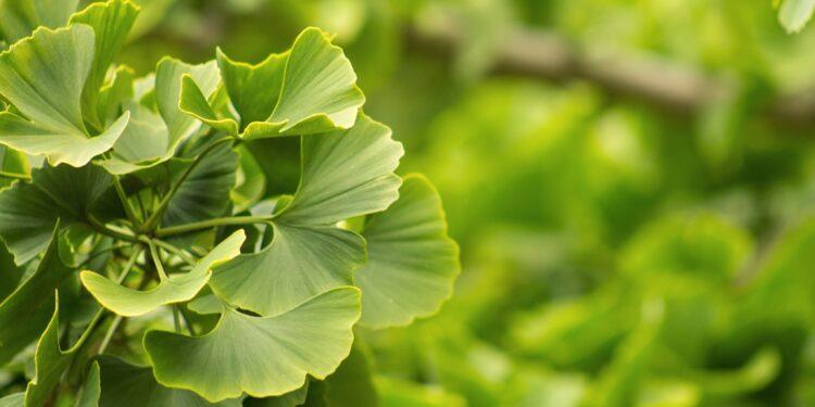 Ginkgopflanze in Nahaufnahme
