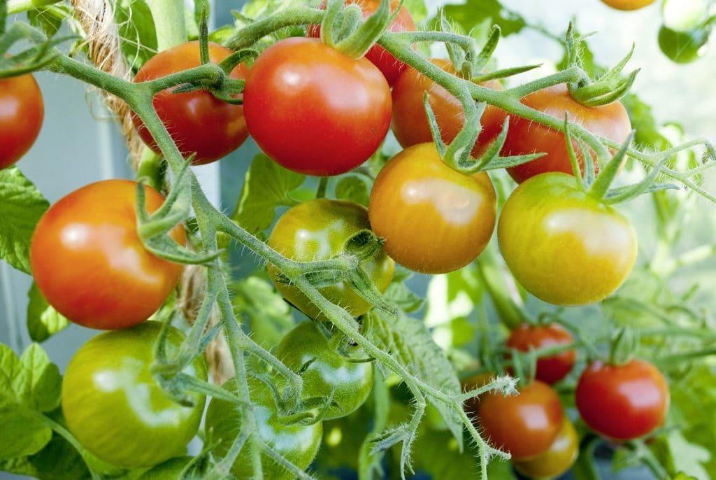 tomaten inhaltsstoffe nutzung und anbau. Black Bedroom Furniture Sets. Home Design Ideas