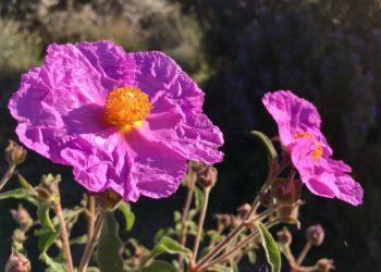 DIe ansprechende Blüte hat heilende Wirkung. Bild: Janjana/fotolia.com