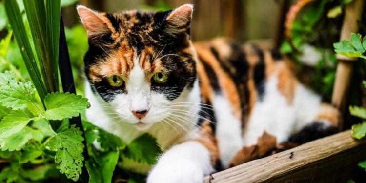 Eine Katze liegt zwischen Katzenminze