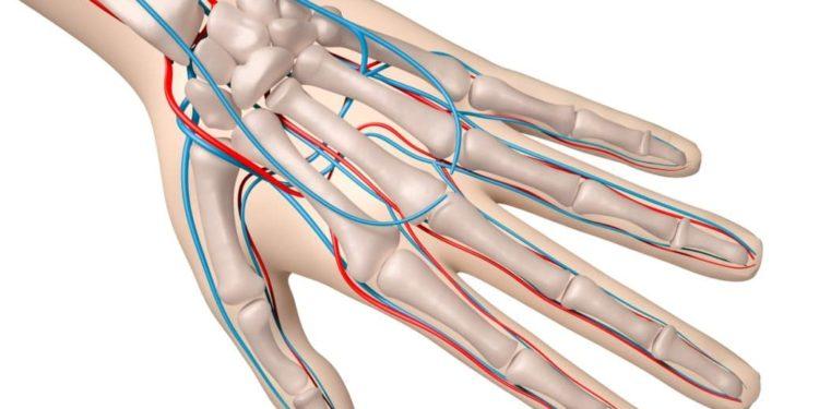 Knochenaufbau und Blutgefäße einer Hand als Computerdarstellung