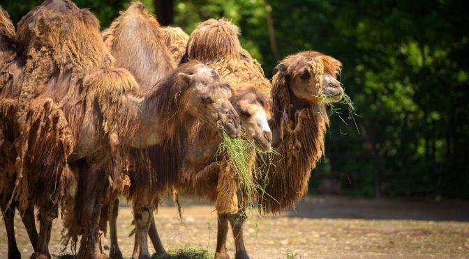 Drei Heu fressende Kamele