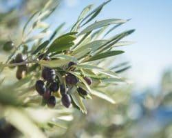 Nahaufnahme von Oliven an einem Olivenbaum