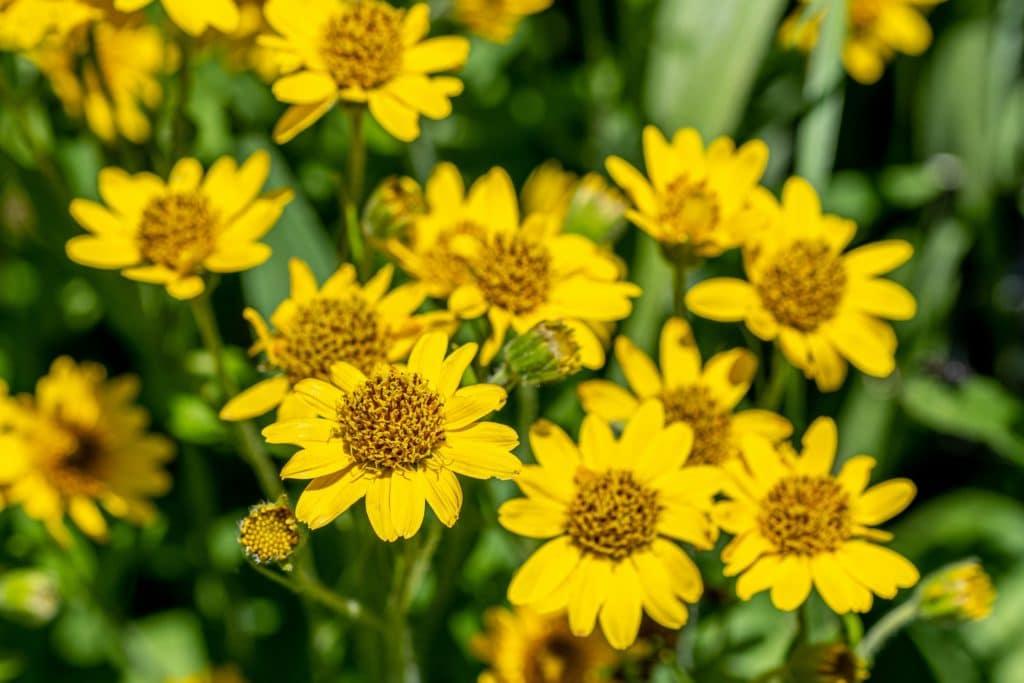 Gelbe Blüten der Arnica-Pflanze