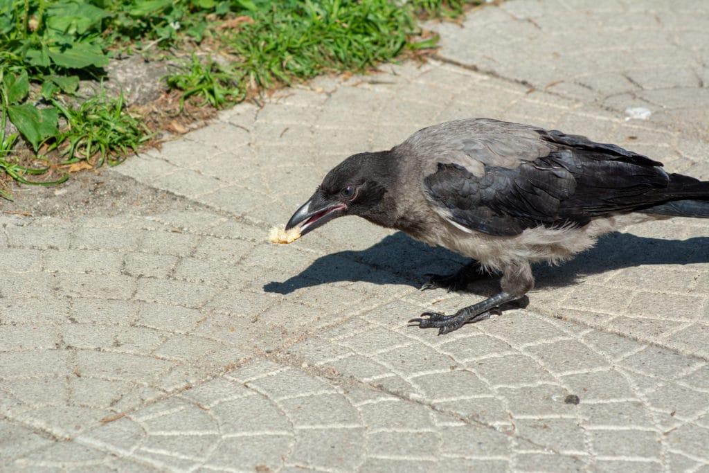 Eine Krähe frisst ein Stück Brot