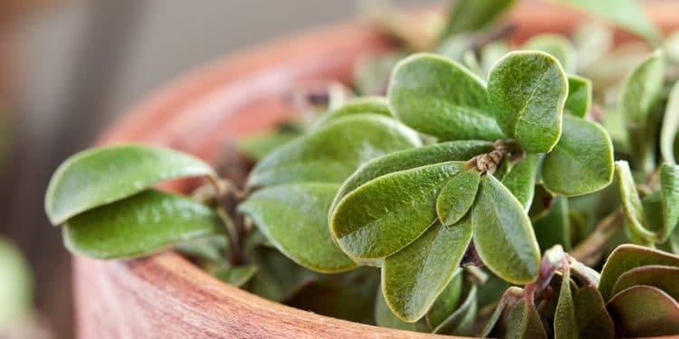 Frische Bärentraubenblätter in einer Schale.