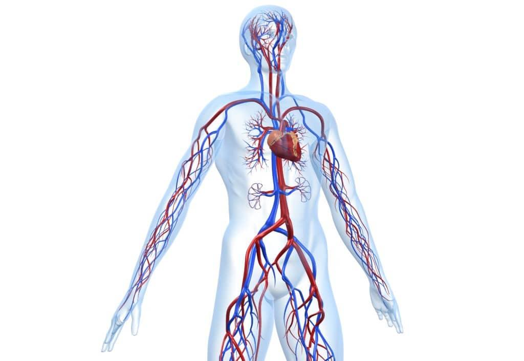 Schmatische Darstellung Blutkreislauf