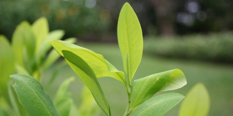 Hellgrüne Blätter am Kokastrauch