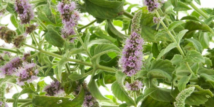 Ackerminze-Blätter und Blüten
