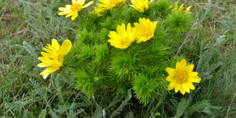 Adonisröschen mit Blüten