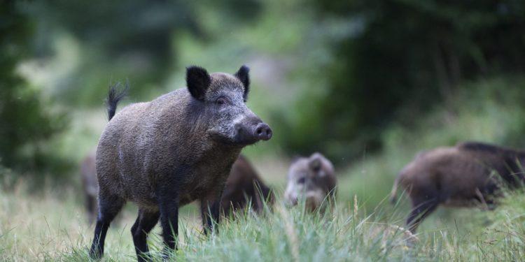 Mehrere Wildschweine auf einer Waldlichtung
