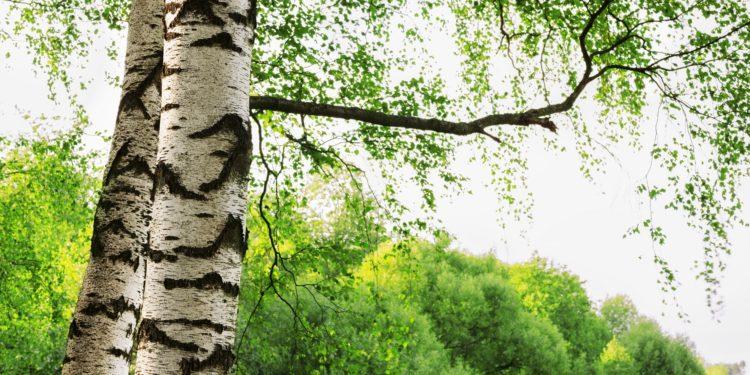 Zwei Birken mit ihrer charakteristischen weißen Rinde vor einem Laubwald.