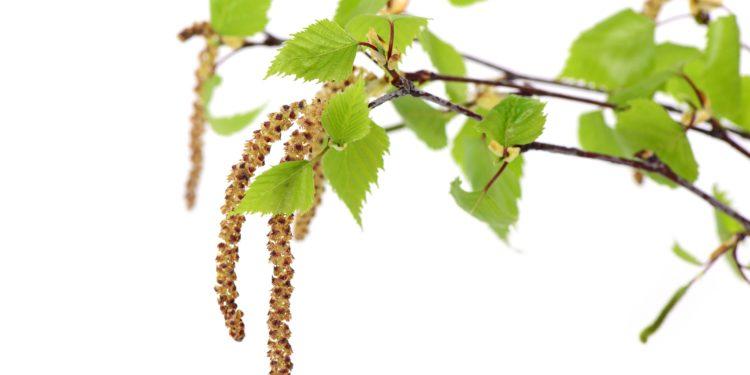 Birkenzweig mit Blättern und Blütenkätzchen.