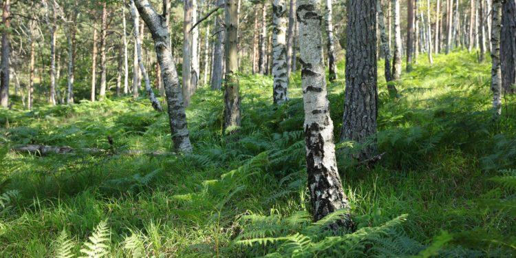Birken in einem Wald.