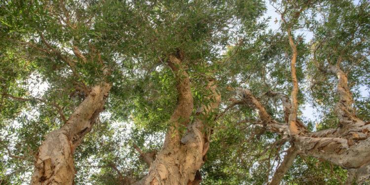 Cajeputbäume