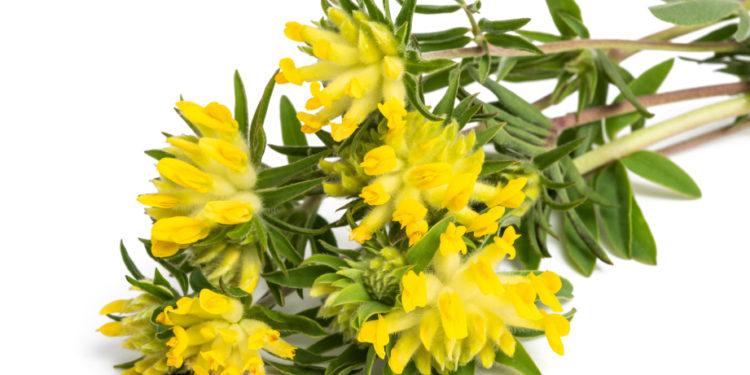 Echter Wundklee - Blüten und Blätter