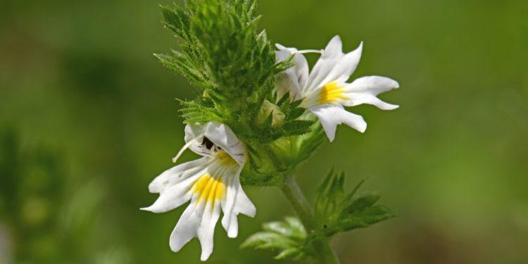 Zwei weiße Euphrasiablüten mit feinen violetten Adern und gelbem Fleck.
