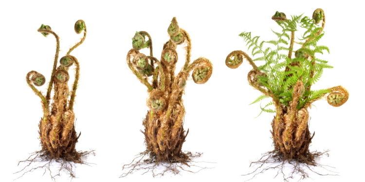Farnkraut Pflanze