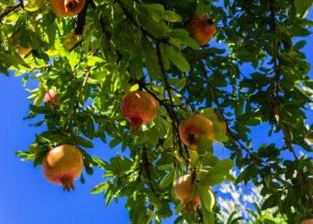 Granatapfelbaum mit Granatäpfeln