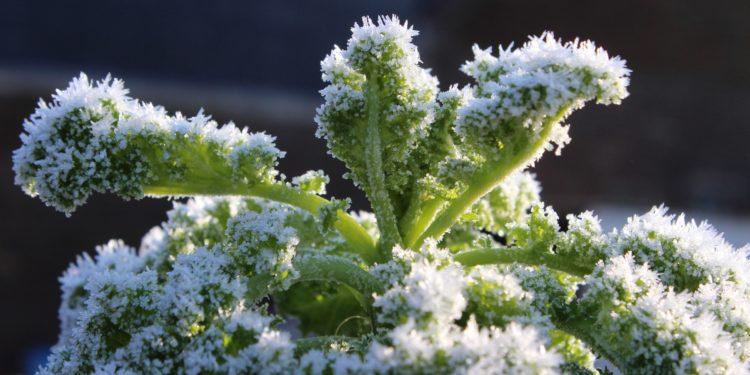 Ein Grünkohl mit Frost bedeckt.