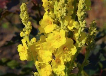 Königskerze mit gelben Blüten.