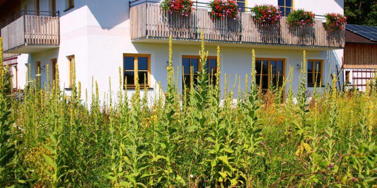 Mehrere hochgewachsene Königskerzen in einem Garten vor einem weißen Landhaus.